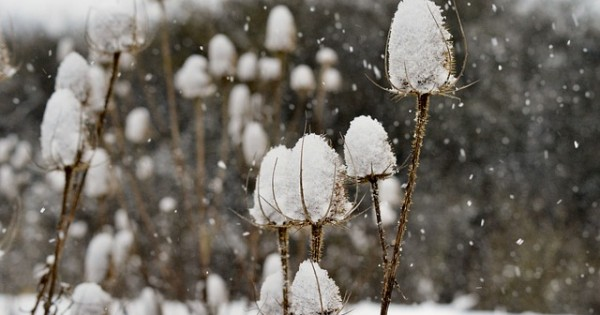 snow on dried flower stem